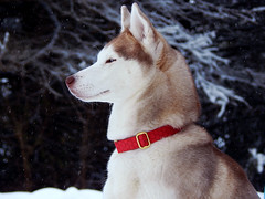 DSCN8824 (demilflowe) Tags: trees winter light red portrait dog pet snow cold tree cute dogs nature animal animals pose season fur fun photography photo cool model nikon husky soft photos covered siberianhusky lookatme siberian breed collar northern playful