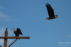 3 of 8 - Bald Eagle chases off another eagle