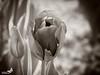 Tulpe (sunrise25) Tags: blackandwhite nikon blume tulpe d800 105mm schwarzweis nikond800