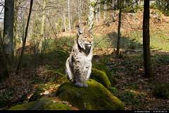 Eurasian Lynx (Lynx lynx) (christian.fiderer) Tags: cat lynx luchs eurasianlynx lynxlynx eurasischerluchs groskatze