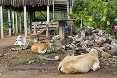 A Three-Cow Family (Jill Clardy) Tags: family mountain river cambodia village cattle cows farm delta riverboat wat mekong prosperity hanchey 4b4a9409