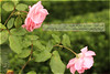 اقتباسات* (hiba_safwan) Tags: pink flowers green canon turkey istanbul ورد طبيعة اخضر زهر اسطنبول تركيا خوف 100d كانون حكمة زهري مقتبس اقتباسات خالدالباتلي