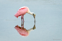 Pondering my Reflection (craig goettsch) Tags: bird nature nikon florida wildlife ngc avian roseatespoonbill d610 dingdarlingnwr