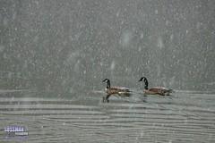 Let's go swimming (The Suss-Man (Mike)) Tags: winter lake snow bird water animal georgia geese gainesville goose lanier hollypark winterstorm winterweather lakelanier hallcounty thesussman sonyslta77 sussmanimaging