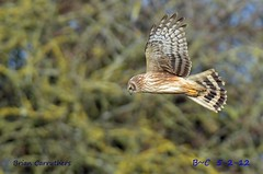 Hen Harrier (Circus cyaneus) fm (Brian Carruthers-Dublin-Eire) Tags: ireland dublin bird ringtail bop henharrier circuscyaneus turveypark rogerstownestuary