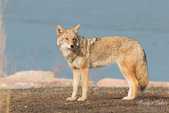 Female coyote keeps watch