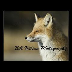 Red Fox (wildlifephotonj) Tags: nature wildlife fox foxes naturephotography redfox naturephotos redfoxes wildlifephotography wildlifephotos natureprints wildlifephotographynj naturephotographynj