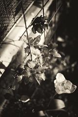 Grid (pgmj) Tags: leica flowers sepia 50mm sweden voigtlander uppsala asph nokton voigtlnder m9 5015