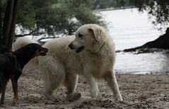 Yoban 201408 ci Blini (flashingfuchur) Tags: dog chien cane germany deutschland perro hund enzo westhighlandwhiteterrier rhine kuvasz rheinmain yoban