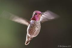 Anna's Hummingbird (Bob Gunderson) Tags: sanfrancisco california birds northerncalifornia hummingbirds missiondistrict annashummingbird calypteanna coth coth5 canoneos7dmarkii