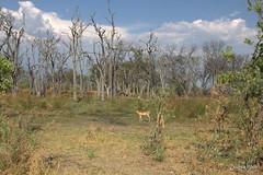 Moremi, Okavango Delta (Zsuzsa Por) Tags: africa nature animal wildlife safari botswana moremi animalplanet okavango okavangodelta wildlifeafrica canonef2470mmf28 canonistas canoneos7d canonef70200mmf28lisusmii