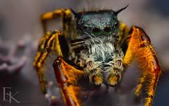 Phidippus Mystaceus (..oOOo..) Tags: macro nature spider jumping focus stack micro phidippus salticidae mystaceus
