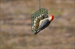 Red-Bellied Woodpecker (deanrr) Tags: winter bird nature woodpecker alabama feeder redbelliedwoodpecker backyardbird suet 2015 morgancountyalabama