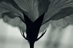 In the Garden 12 (JeffStewartPhotos) Tags: blackandwhite bw plant macro closeup garden blackwhite dof near h photowalk grainy toned uncropped noisy shallowdepthoffield allangardens sdof torontophotowalk topw throughamagnifyingglass throughthemagnifyingglass torontophotowalks rightinthere topwblib bloominlibation
