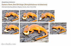 eft feeding (DaveHuth) Tags: white layout amphibian behavior