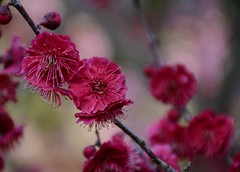 image (yhshangkuan) Tags: flower japan plumblossoms  2015  ritsuringarden  plumblossom2015 2015