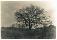 Landscape, print version (Mark Dries) Tags: sepia darkroom print graphic 4x5 crown toned graflex xenar t40 amaloco markguitarphoto