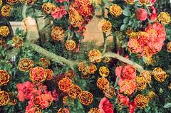 Let Me Begin (Hayden_Williams) Tags: travel flowers flower tree film analog vintage garden 50mm bay singapore doubleexposure grain hipster retro multipleexposure explore dreamy f18 canonae1 fd expiredfilm portra160nc bansai kodakportra gardensbythebay