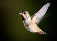 Rufous/Allen's Hummingbird (Female or Juvenile) [3-5319] (MCH-1138) Tags: bird nature hummingbird wildlife allens birdinflight rufous strobist hummingbirdinflight nikonafsnikkor300mmf4difed