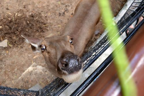 Нungry deer