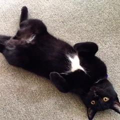 My 5-month young #cat named #ninja whole #black with a #white #shuriken star on his chest #นินจา #แมว ที่บ้าน อายุ 5 เดือน สีเทาดำทั้งตัว แต่มี #ดาวกระจาย 4 แฉก #อาวุธลับ สีขาว อยู่กลางหน้าอก #ลูกรัก