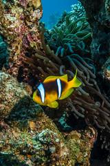 Red Sea anemonefish (arts-loi) Tags: dahab redsea egypt anemone scubadiving underwaterphotography redseaanemonefish southsinai ricksreef