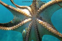 Tako (Aaron Lynton) Tags: canon hawaii maui octopus tako g1x lyntonproductions
