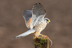 Kestrel (iesphotography) Tags: wild wallpaper sky bird nature up closeup female colorful european branch looking close natural eagle head wildlife watching beak feather large natuur aves sharp raptor single falcon migratory hunter prey predator common biology ornithology claws kestrel vogel tinnunculus falco zoology roofvogel