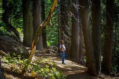 Sequoia trees, California (Raji PV) Tags: california trees light sun tree green forest moss pentax huge rays sequoia raji philipose k200d rajipv