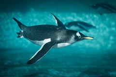 Gentoo Penguin  -2255-Edit (Mr Andy J C) Tags: bird animals zoo penguin scotland gentoo edinburgh underwater dive diving float edinburghzoo gentoopenguin 21february2015