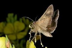 Rolf_Nagel-Fl-2550-Autographa_gamma (Insektenflug) Tags: autographagamma autographa gamma gammaeule noctuidae noctuid moth schmetterling fliegend im flying flight wilhelmshaven deutschland flug germany nachtfalter insekt insektenflug butterfly insect imflug inflight fliegen
