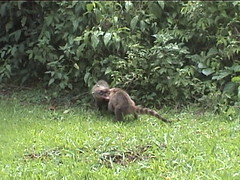 Coatis Fighting