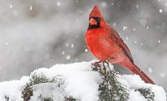 Winter Storm Thor (Family Man Studios) Tags: winter red snow nature colors birds canon cardinal wildlife snowstorm delaware newark newarkdelaware backyardbirds 70d winterscenery delawareonline dougholveck