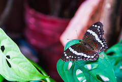 """""""Migración"""" (yamircuevas) Tags: naturaleza macro planta nature méxico butterfly insect hojas fly plantas natural veracruz mariposa pozarica biodiversidad macrophotografy"""