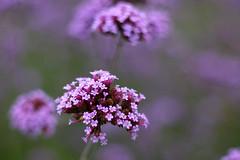 Green, purple, pink (planosdeluz) Tags: flowers flores verde planta canon 50mm bokeh flor rosa 18 aire libre 60d