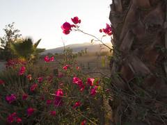 Bugambilias en el vinedo IMG_1936 (fernandodelatorre46) Tags: sunset mxico mexico atardecer bajacalifornia ensenada bugambilia valledeguadalupe