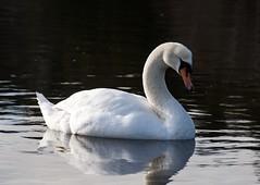 Mute Swan (David Badke) Tags: bird bc colwood