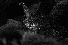 Fish for dinner (carlo612001) Tags: bw bird monochrome birds monocromo shot martin uccelli kingfisher fisher capture caught biancoenero pescatore uccello catturato cattura martinpescatore oasidisantalessio