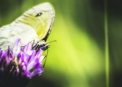 ...He's lost in the wilderness (_.Yann Curu ._) Tags: colors closeup butterfly flower blossom bloom contrast nature nikon d750 nikkor 5502000mmf4056 curuyann