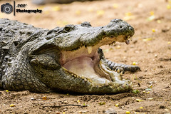 Jaws! - Madras Crocodile Bank, India (rvk82) Tags: animalsbirds chennai crocodile india madrascrocodilebank nikkor200500mm nikon nikond500 photography rvk rvkphotography raghukumarphotography southindia tamilnadu vadanemmeli wildlife in
