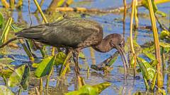 Juvenile Glossy Ibis IMG_2575 (ronzigler) Tags: juvenile glossy ibis bird birdwatcher avian nature sigma 150600mm canon 60d
