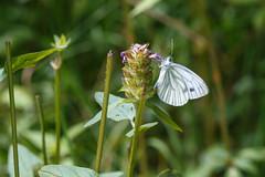 Piride du navet (Pieris napi) (aurelien.ebel) Tags: france pieridae macro pierinae papillon alsace lawantzenau insecte papilionoidea