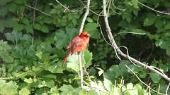 Cardinal on a Stick (blazer8696) Tags: 2016 brookfield ct connecticut ecw obtusehill t2016 usa unitedstates cardinal cardinalis cardinaliscardinalis northern northerncardinal passeriformes img9489