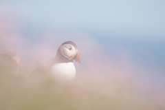 _MG_1568.jpg (helmutfaugel) Tags: schottland fairisle grosbritannien europa vogel 2016 shetland papageientaucher orte