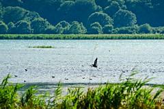 In fase di decollo (skynyrd_01) Tags: lago di vico caprarola viterbo italia francesco cristiani nikon d7000 tamron 70200mm f28 kingston card acqua skynyrd01 uccelli birds