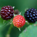 """Ripening Black Raspberries • <a style=""""font-size:0.8em;"""" href=""""http://www.flickr.com/photos/124671209@N02/28142108151/"""" target=""""_blank"""">View on Flickr</a>"""