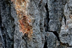 Bark with a little bite - HMM! (msembeck) Tags: macro texture silver maple bark bite mybackyard flickrphotowalk macrotextures macromondays d7000
