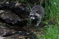 Raton laveur / Racoon (Maxime Legare-Vezina) Tags: animal nature wild wildlife mammals biodiversity canon fauna