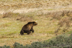 Walking the walk (ChicagoBob46) Tags: grizz grizzly grizzlybear bear boar yellowstone yellowstonenationalpark nature wildlife