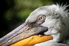 Portrait (L'Teigneux) Tags: bird zoo pelican alsace animaux oiseau mulhouse pelecanus plican plican